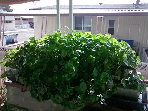 FERRY Bio-Saatgut Nicht nur Pflanzen: Wassernabel Gotu Kola Centella Aquarium 24+ große Seed Nicht Aquaponics