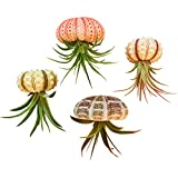 Bliss Gardens 4 pc Hanging Air Plant Jellyfish Set/Includes Air Plants, Shells and Gift Box