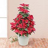 ポインセチア 「ホーリータワー」 鉢植え 花 クリスマス ギフト プレゼント イイハナ・ドットコム