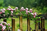 10pcs Climbing Rose Vine Flower Seeds Climber Fragrant (Pink)