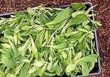 Shoppy Star: 100 Semillas: Las semillas de ensalada de maíz Aka, Mache, hierba de los canónigos, Ensalada de campo, (Valerianella Locusta) (100 semillas)