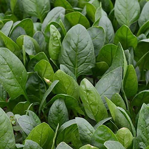 C-LARSS 200 Unids/Bolsa Semillas De Espinaca Frescas Sin OMG Fácil De Cultivar Mini Planta Gigante Espinaca Nutritiva Para Plantar Semillas de espinaca