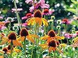 Portal Cool Kaufen, 3 2 Free Echinacea Mixed Grün Jewel Seeds 50 PC Rare Grün Coreflower