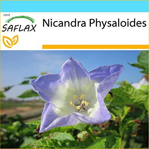 SAFLAX - Geschenk Set - Blaue Lampionblume - 100 Samen - Mit Geschenk- / Versandbox, Versandaufkleber, Geschenkkarte und Anzuchtsubstrat - Nicandra physaloides