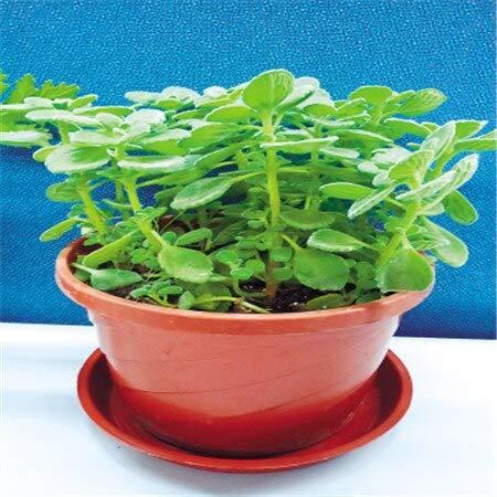 Jaune: Semences de gazon anti-moustiques (100 graines) pour le jardin potager, plantes d'extérieur
