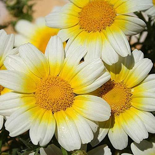 Garland Daisy 50-800 Seeds Heirloom (Butterfly Garden)