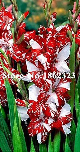 Kalash New 120pcs Gladiolen Blumensamen für Garten Rot Weiß