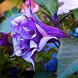 Mandala fiore Brugmansia Datura semi di semi di fiori rari in vaso plantas Una varietà di colore giardino decorazione vegetale 50 pz y68