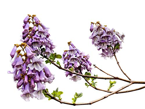 100 Semillas *Paulownia tomentosa* By Samenchilishop