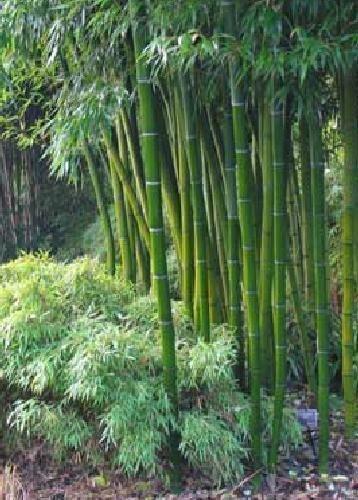 Tropica - herbes et bambous - bambou géant àépines (Dendrocalamus arundinacea) - 50 graines