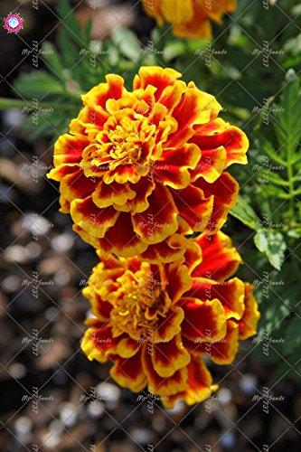 100 pcs calendula Graines Graines De belles fleurs vivaces Bonsai plantes pour jardin facile à cultiver 10