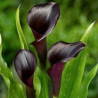 ZantedeschiaLily/Calla Lily Black Colour Flower Sow and Grow Fresh Healthy Bulbs for Your Garden by Kraft Seeds (Set of 2) Black (Pack of 10)