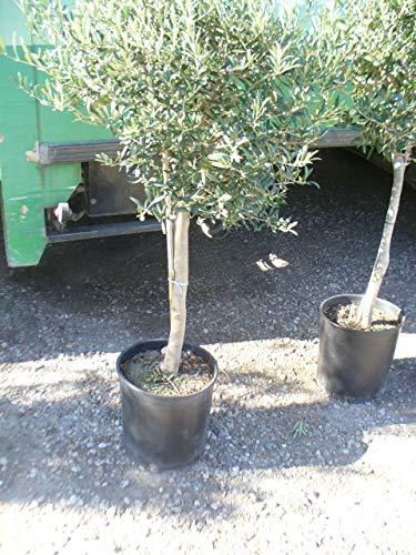 Olijfboom met een dikke stam