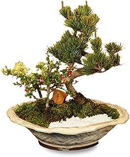 盆栽:五葉松・紅白長寿梅寄せ植えD(白釉鉢)*