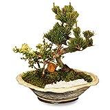 盆栽:五葉松・紅白長寿梅寄せ植えD(白釉鉢)*bonsai