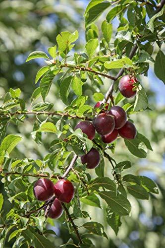 Kirschpflaume Prunus cerasifera Pflanze 5-10cm Myrobalane Türkenkirsche Pflaume