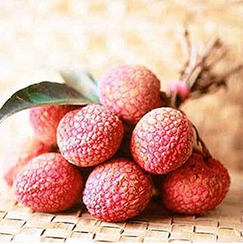 20pcs Lychee Samen Einfach zu Kultivieren Die auffälligen Mehrjährige Heirloom Obst Samen sind Leicht zu Pflanzen Anfänger gut Wachsen können Leicht zu Pflanzen