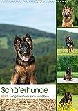 Schäferhunde Langstockhaar zum verlieben (Wandkalender 2021 DIN A3 hoch)