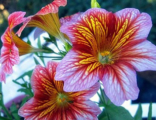 Colorful Painted Tongue Flower Seeds 50+ Velvet Trumpet Flower Seeds for Home/Garden/Outdoor/Yard/Farm Planting