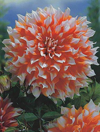 Schmuck Dahlie großblumig Holland Festival Knolle Blumenzwiebeln (1 Knolle)