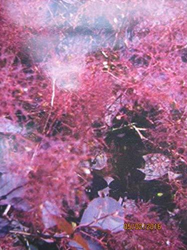Roter Perückenstrauch Dusky Maiden - Cotinus coggygria Dusky Maiden