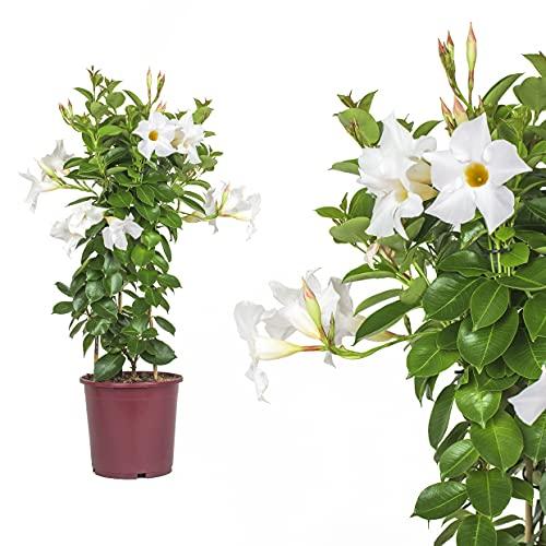 1x Dipladenia Mandevilla/Chilenischer Jasmin - WEISS - in tollen unterschiedlichen bunten Farben - circa 50 bis 60cm / bunt blühende Kletterpflanze - Pflegeleicht