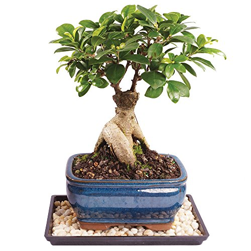 Brussel's Live Gensing Grafted Ficus Indoor Bonsai Tree - 5 Years Old; 6' to 10' Tall with Decorative Container, Humidity Tray & Deco Rock
