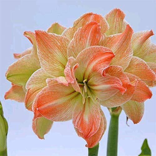 2Pcs Amaryllis Bulbs&Hardy Root Live Plants Outdoor Beautiful Bonsai Pleasant Magical Home