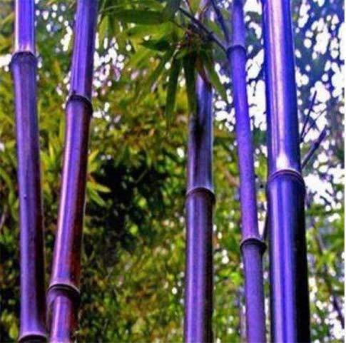 Acecoree Samen- Exotisch Moso Bambus Samen
