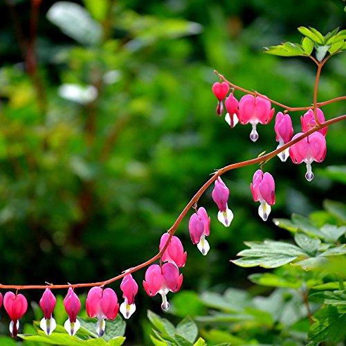 Generic Dicentra Spectabilis Seeds Bleeding Heart Garden Plant Blumen in Herzform, 10 Stück