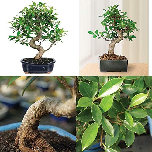 Tree Plant- Bonsai Golden Gate Ficus Tree Foliage Plant 7 Years Tropical Indoor Houseplant