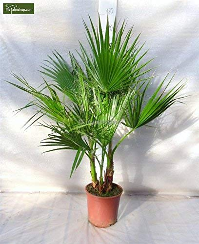 Washingtonia robusta MULTISTAMM - Mexikanische Washingtoniapalme - verschiedene Größen (120-140cm Topf Ø 26cm)