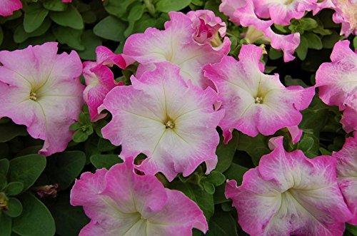 Limbo Rose Morn Graines de pétunia Nain ? Nain variété, Tolérant au froid et humide, (30?35 graines)