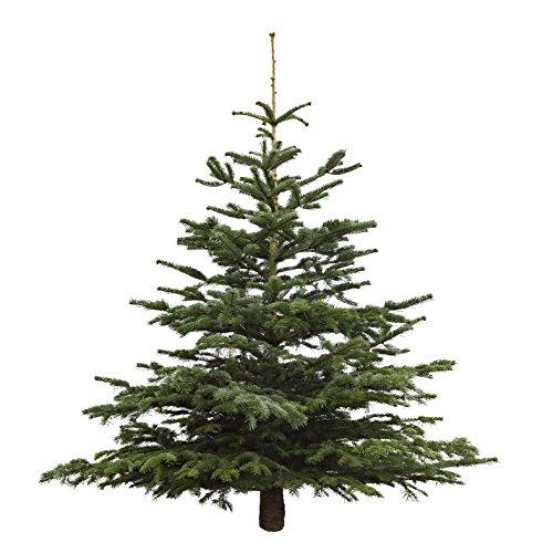 Echter Weihnachtsbaum Nordmanntanne, Höhe ca. 150 - 175 cm, frisch geschlagen