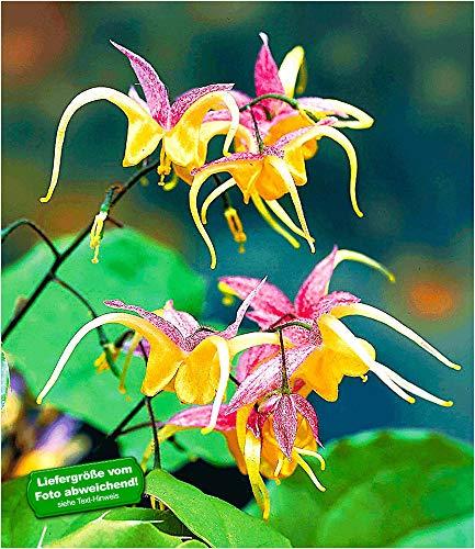 """BALDUR-Garten Epimedium""""Fire Dragon®"""",2 Pflanzen Elfenblume Staude winterhart"""