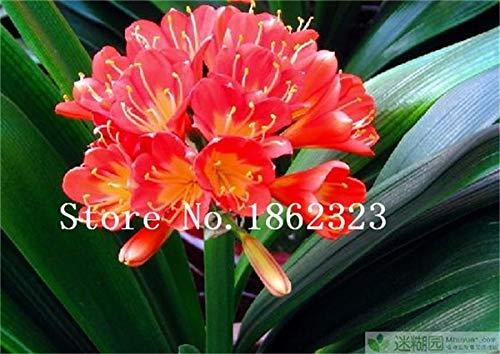 Bloom Green Co. 100 Pcs Clivia graines, semences rares chinois Clivia Couleur de la fleur, jardin bonsaïs Graine Semente décorative Cadeau de Noël: 16