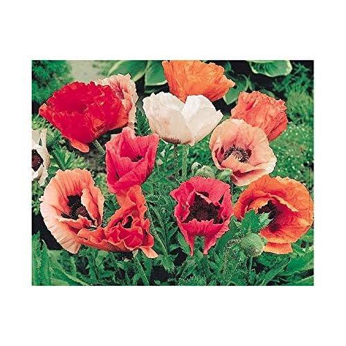 Amazon Com Marde Ross Company 10 000 Oriental Poppy Seeds