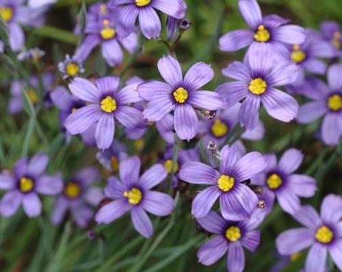 Blue Eyed graminée vivace Graines de fleurs/sécheresse Tolerant (30 graines)