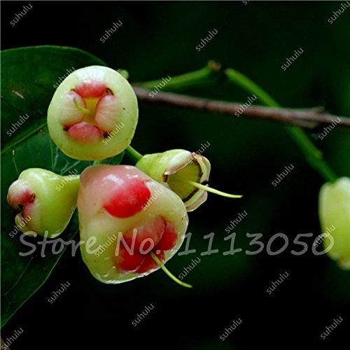 Cire rare Graine Heirloom douce Semente De Frutas Tropicais, les plantes ornementales en plein air peuvent Bonsai comestibles 20 Pcs en vente 1
