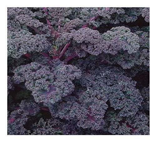 Premier Seeds Direct KAL05 - Semillas para Verduras (Col rizada)