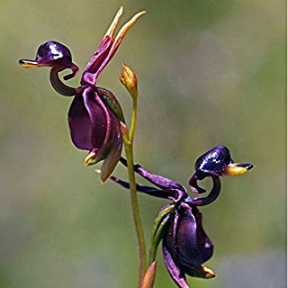 2018 Hot Sale Exinnos 100Pcs/Pack Caleana Major Flying Duck Orchid Seeds Garden Potted Decor Flowers Plants Seeds