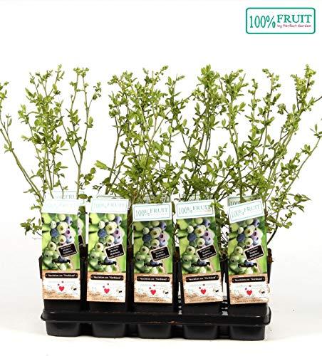 Heidelbeere 'Northland' - Vaccinium corymbosum Northland