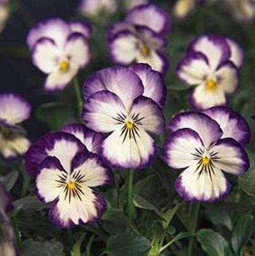 Semi Viola sorbetto al cocco, Ricciolo annuali