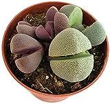 """Fangblatt - Pleiospilos nelii""""lebende Steine Set"""" - im Ø 9 cm Topf - violetter lebender Stein & grauer Granit - Lithops pflegeleichte Sukkulente"""