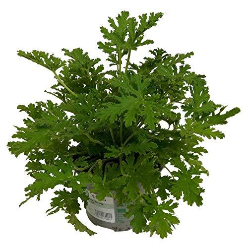 Pflanzen Kölle Duftgeranie 'Zitrone', 6er-Set, Topf 12 cm Ø
