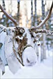 Poster 61 x 91 cm: Rentier in Lappland von Editors Choice -