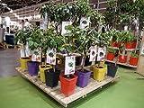 Albaricoquero Enano Garden Aprigold 5l Árbol frutal especialmente indicado para su cultivo en maceta o jardineras en patios y terrazas y pequeños jardines