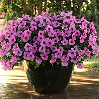 Petunia Easy Wave Pink Passion Pelleted Flower Seed 100 Seeds