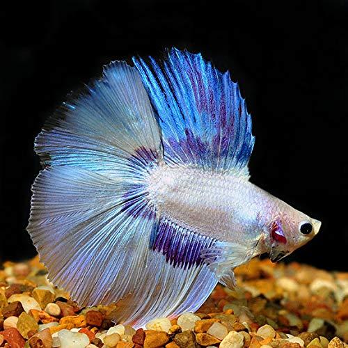 【熱帯魚・ベタ】 ダブルテール・ベタ オス 色おまかせ ■サイズ:アダルト (1匹)