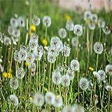 perenne Resistente Semillas,Gran Hoja de Diente de león Suegra jardinería Semillas de Flores en maceta-500g,Planta Maceta Semillas